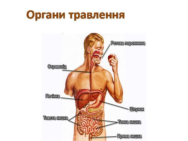 людини травлення схема органів